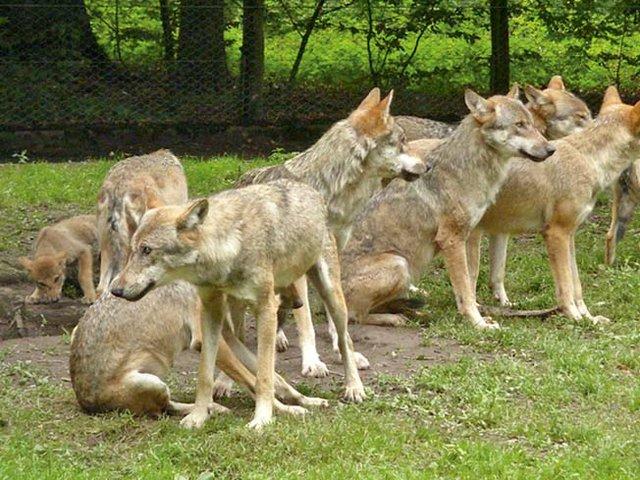 Wolfsrudel_Sababurg.jpg