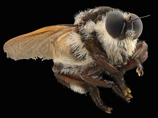 Asilidae Mallophora_bomboides_p.jpg