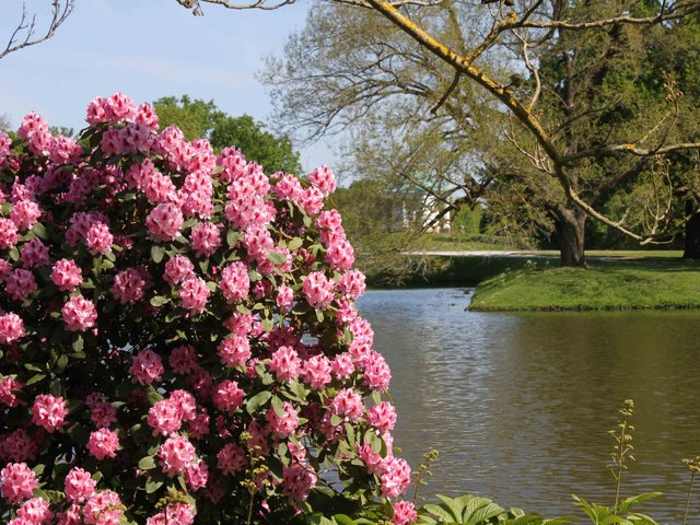MHK_Insel Siebenbergen_Rhododendron.JPG