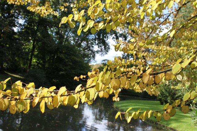 MHK_Insel Siebenbergen, Karlsaue, Herbstfärbung Lebkuchenbaum, © K. H. Freudenstein.jpg