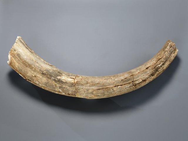 MHK_Fragment eines Mammutstoßzahns © Arno Hensmanns.jpg